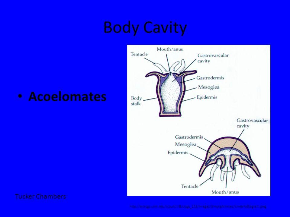 Body Cavity Acoelomates http://biology.unm.edu/ccouncil/Biology_203/Images/SimpleAnimals/cnidariaDiagram.jpeg Tucker Chambers