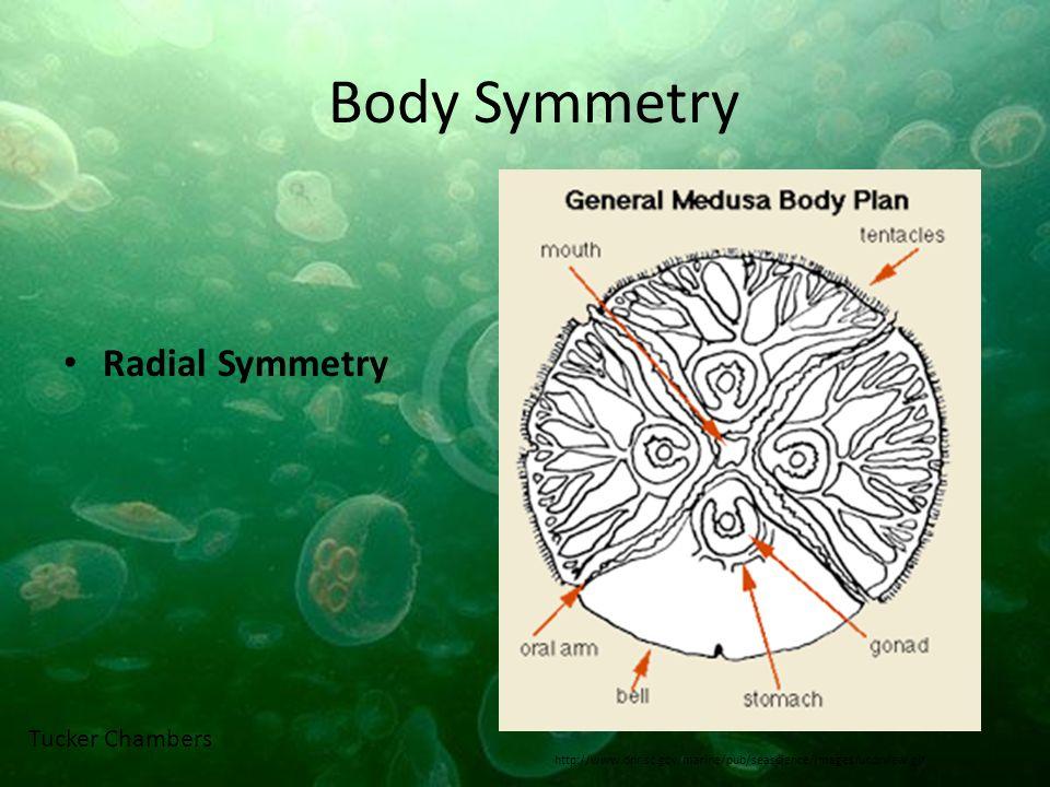 Body Symmetry Radial Symmetry http://www.dnr.sc.gov/marine/pub/seascience/images/undrview.gif Tucker Chambers