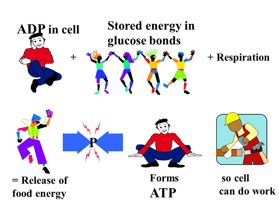 ADP to ATP cycle ADP=di phosphate ATP= tri phosphate ATP makes a muscle work ADP in cell ADP +P High energy ATP -P after cell work