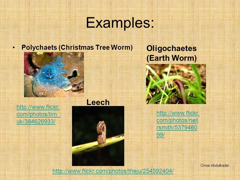 Examples: Polychaets (Christmas Tree Worm) Oligochaetes (Earth Worm) Leech Omar Abdulkader http://www.flickr. com/photos/tim_ uk/384626933/ http://www
