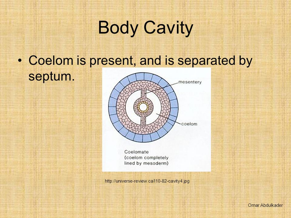 Body Cavity Coelom is present, and is separated by septum. Omar Abdulkader http://universe-review.ca/I10-82-cavity4.jpg