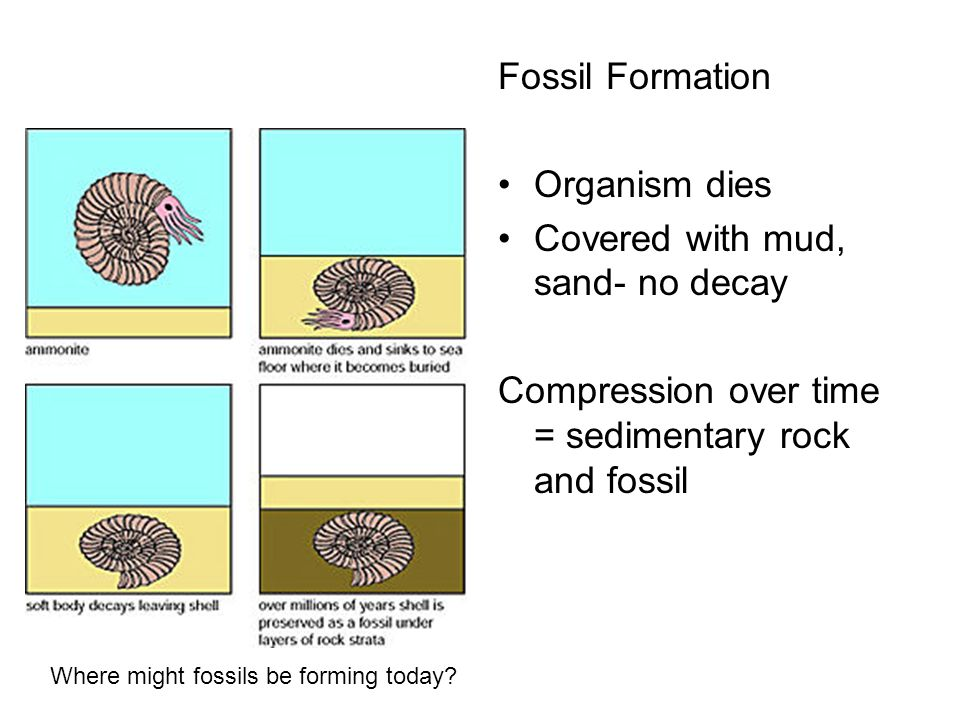 Fossil Formation Organism dies Covered with mud, sand- no decay Compression over time = sedimentary rock and fossil Where might fossils be forming tod