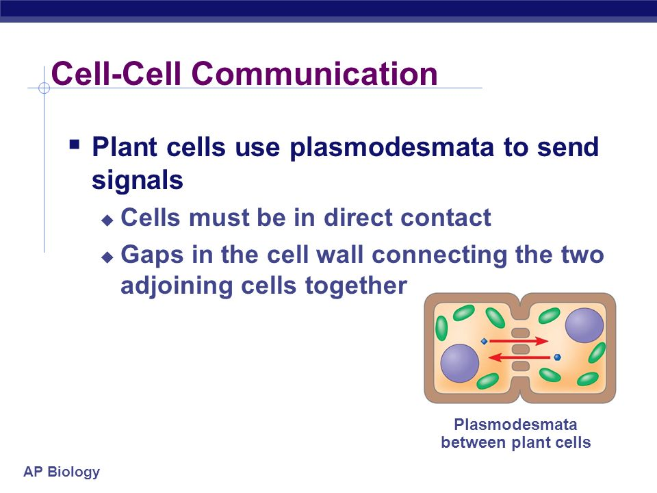 AP Biology Response Many possible outcomes This example shows a transcription response Growth factor Receptor Phosphorylation cascade Reception Transduction Active transcription factor Response P Inactive transcription factor CYTOPLASM DNA NUCLEUS mRNA Gene