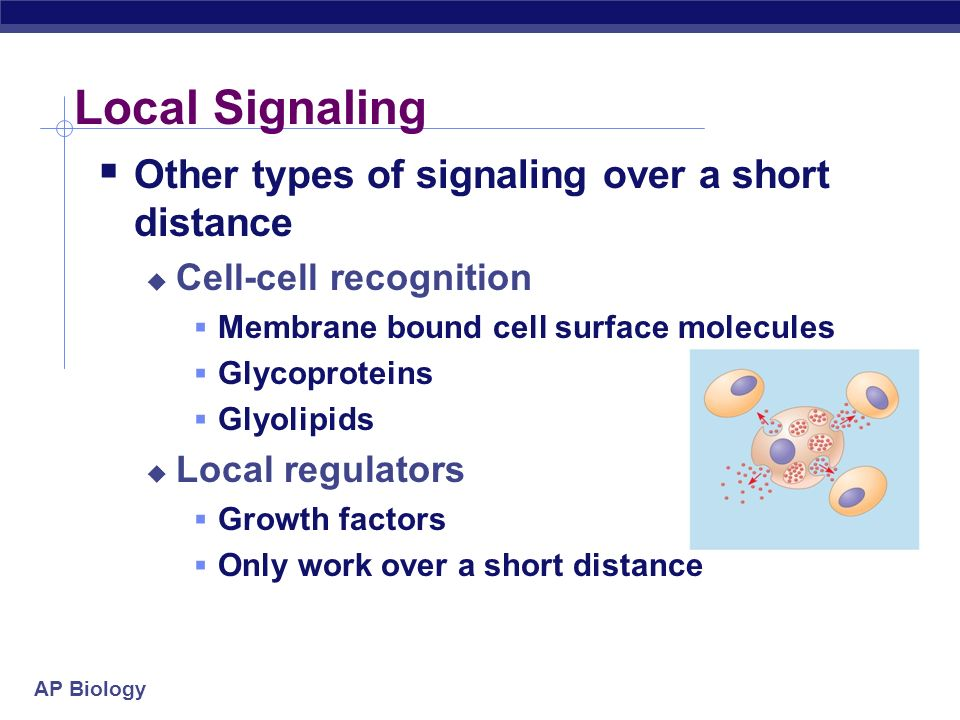 AP Biology Local Signaling Other types of signaling over a short distance Cell-cell recognition Membrane bound cell surface molecules Glycoproteins Glyolipids Local regulators Growth factors Only work over a short distance
