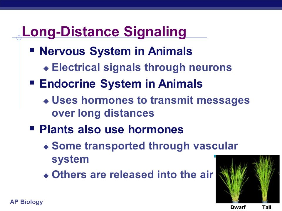 AP Biology The signal can also trigger an activator or inhibitor The signal can also trigger multiple receptors and different responses Response 4Response 5 Activation or inhibition Cell C.