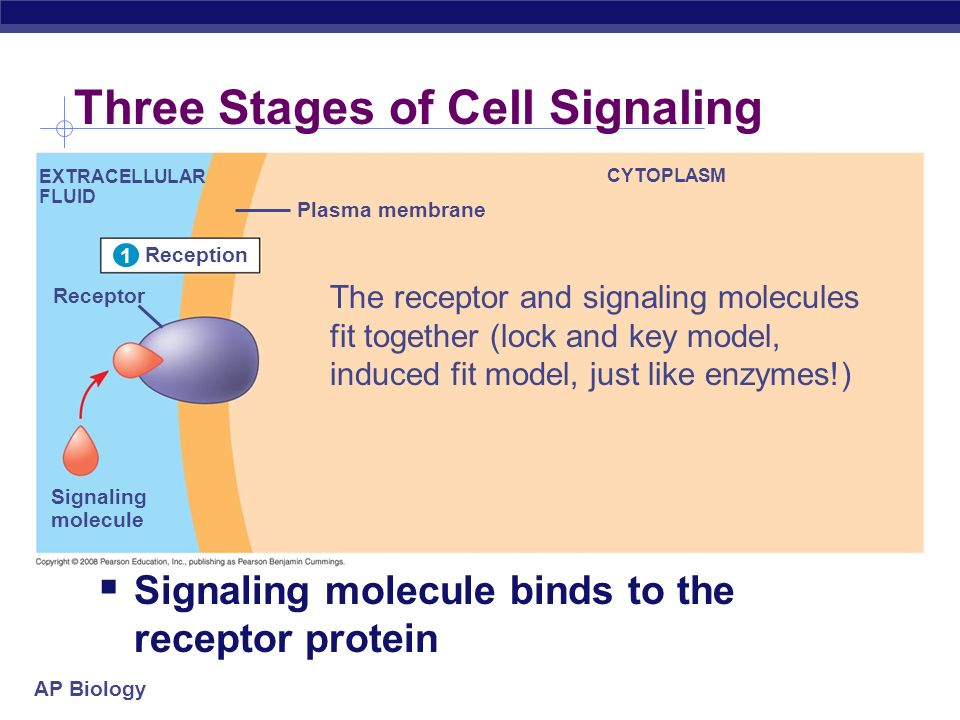 AP Biology Reception 1 EXTRACELLULAR FLUID Receptor Signaling molecule Plasma membrane CYTOPLASM 1 Three Stages of Cell Signaling Signaling molecule binds to the receptor protein The receptor and signaling molecules fit together (lock and key model, induced fit model, just like enzymes!)