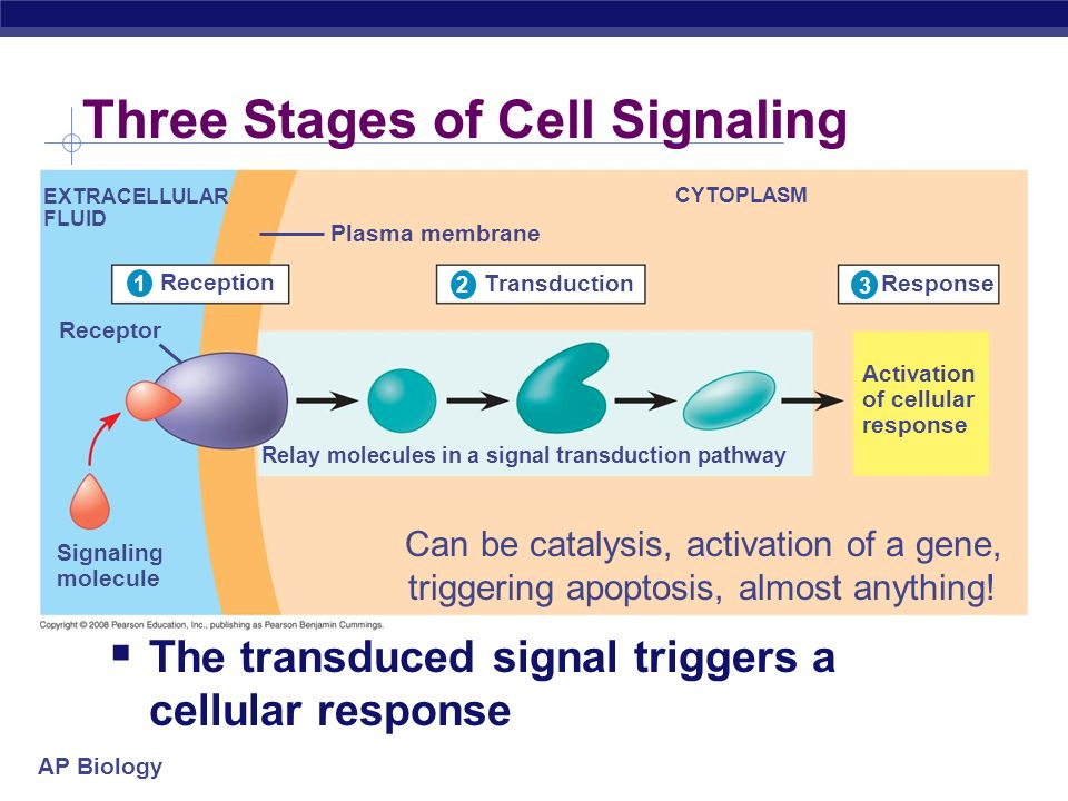 AP Biology Three Stages of Cell Signaling Reception 1 EXTRACELLULAR FLUID Receptor Signaling molecule Plasma membrane CYTOPLASM 1 Relay molecules in a