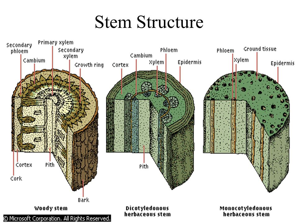 The stem of a plant provides pathways for the distribution of water and nutrients between the roots, leaves, and other parts of the plant. The herbace