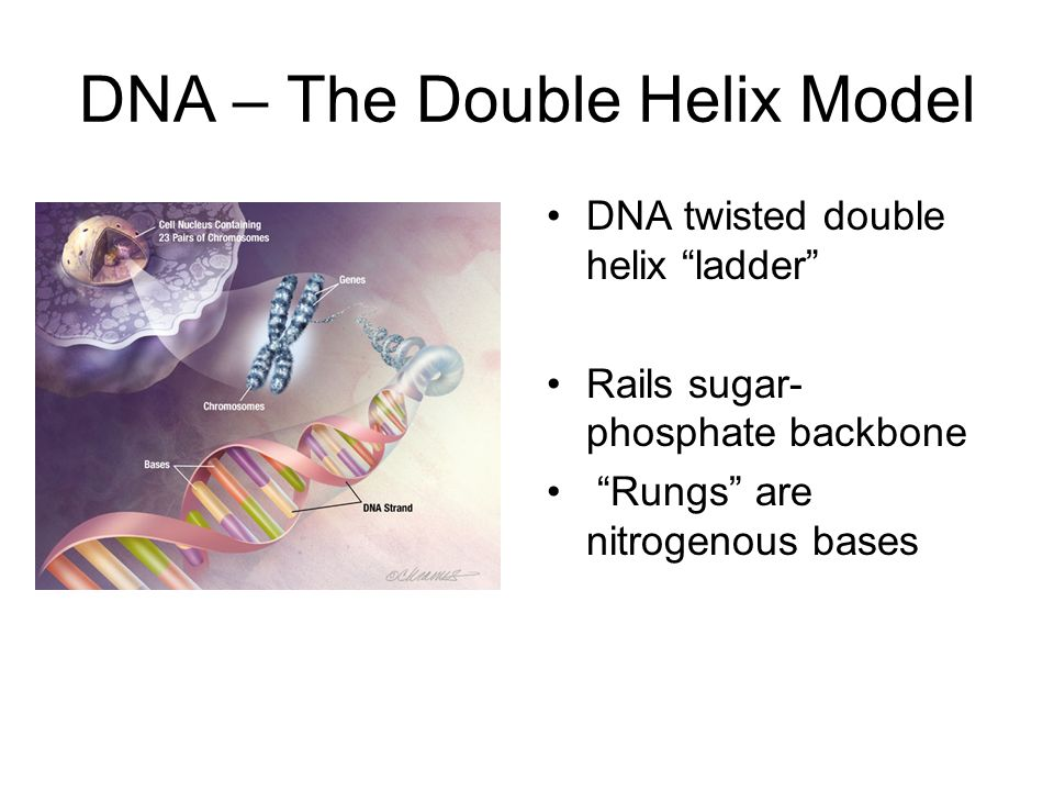 DNA – The Double Helix Model DNA twisted double helix ladder Rails sugar- phosphate backbone Rungs are nitrogenous bases