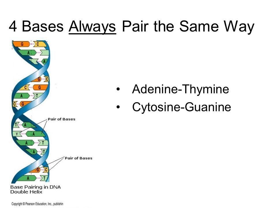 4 Bases Always Pair the Same Way Adenine-Thymine Cytosine-Guanine