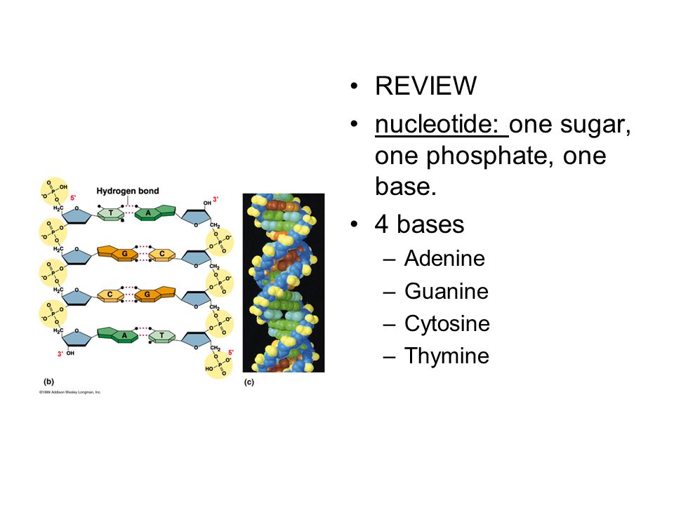 REVIEW nucleotide: one sugar, one phosphate, one base. 4 bases –Adenine –Guanine –Cytosine –Thymine