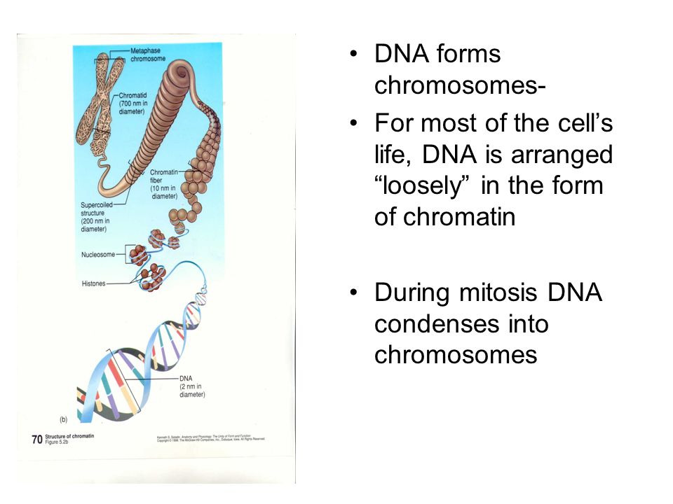 Interphase Longest phase Cell grows Chromosomes are duplicated- each duplicate is called a sister chromatid