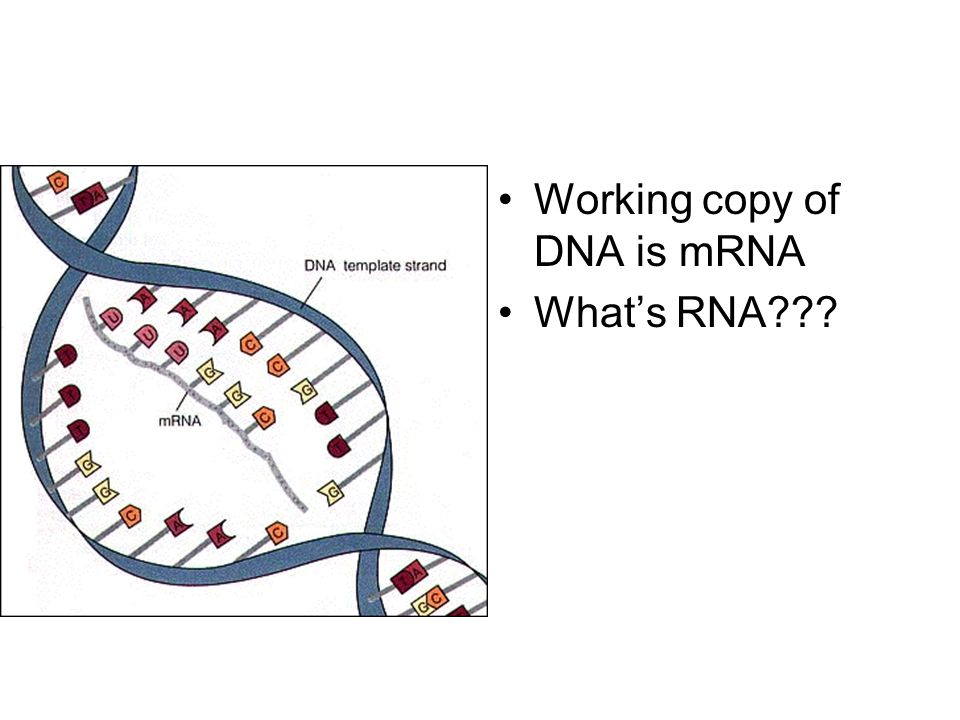 Working copy of DNA is mRNA Whats RNA???