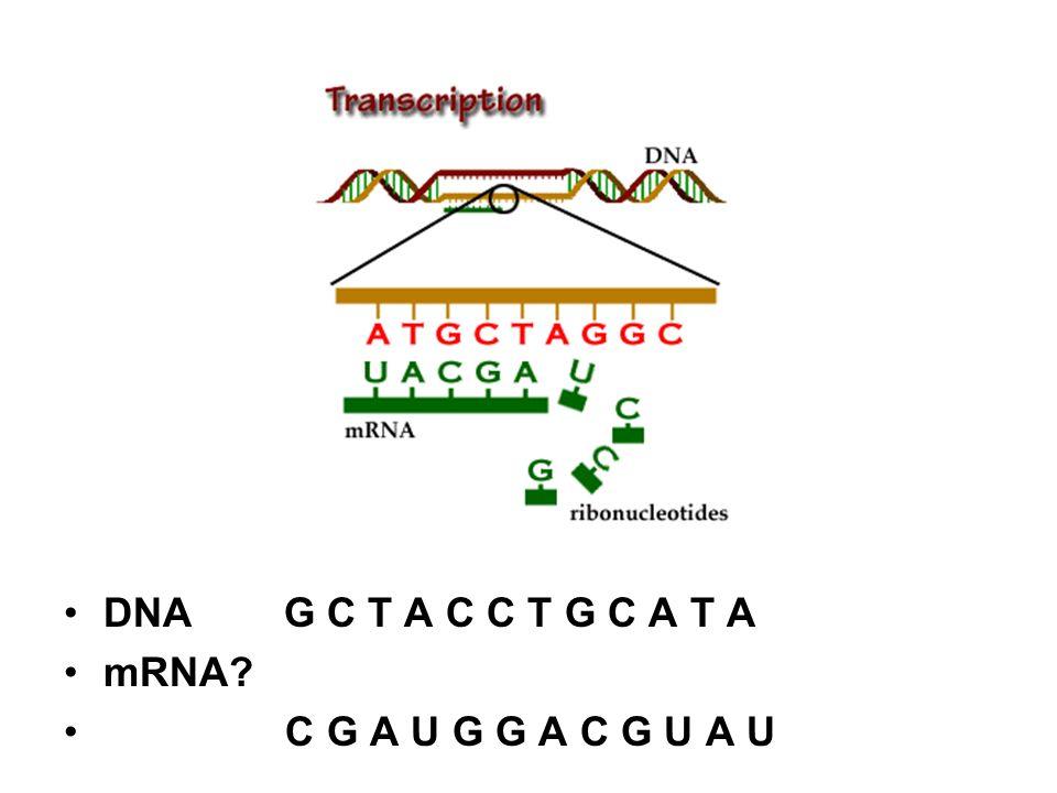 DNA G C T A C C T G C A T A mRNA? C G A U G G A C G U A U