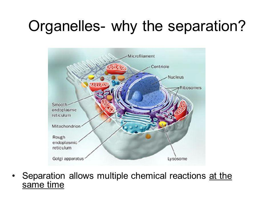 Organelles- why the separation? Separation allows multiple chemical reactions at the same time