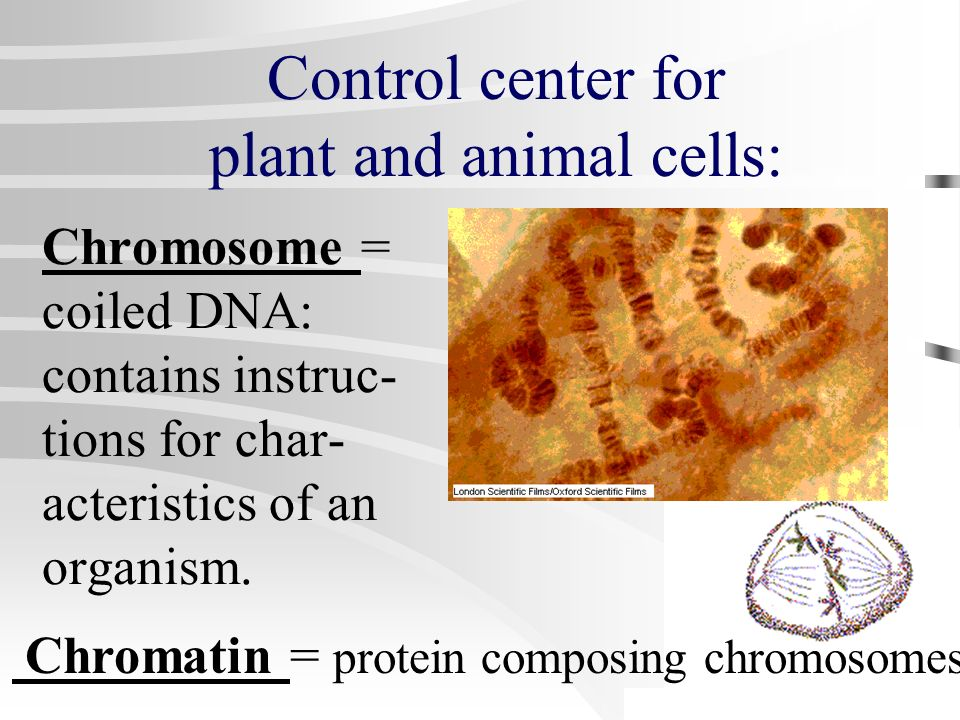 Nucleus = control center for activities & reproduction, DNA & chromosomes housed here. Nucleolus = contains and makes RNA Control center for plant and