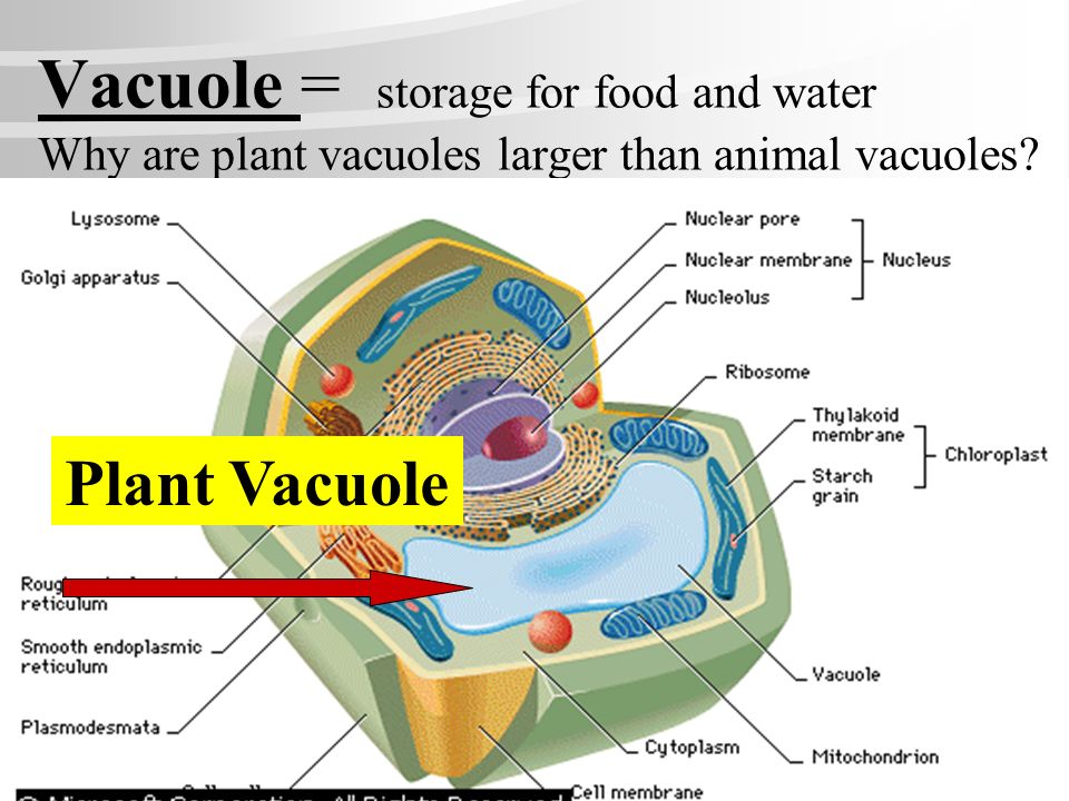 Golgi Bodies (aka Golgi Apparatus): where cell products are modified and packaged in vesicles for export from the cell. Sacks for making & storing Sec