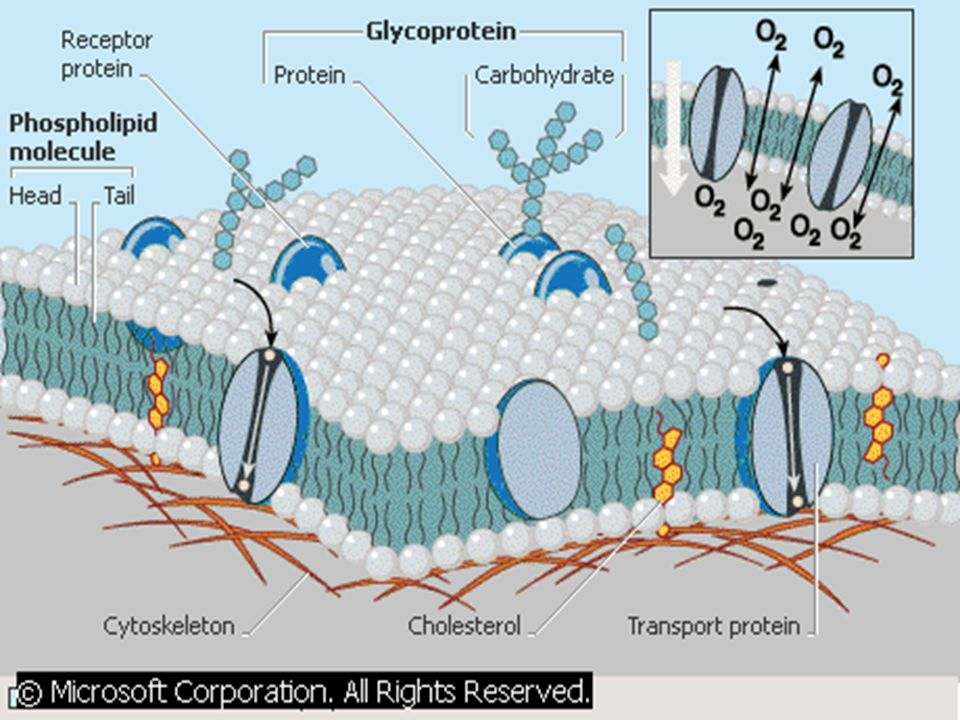 Found in both Plant and Animal Cells Organelles that surround cells for support: Cell Membrane= Semi-permeable, controls what enters and leaves the ce