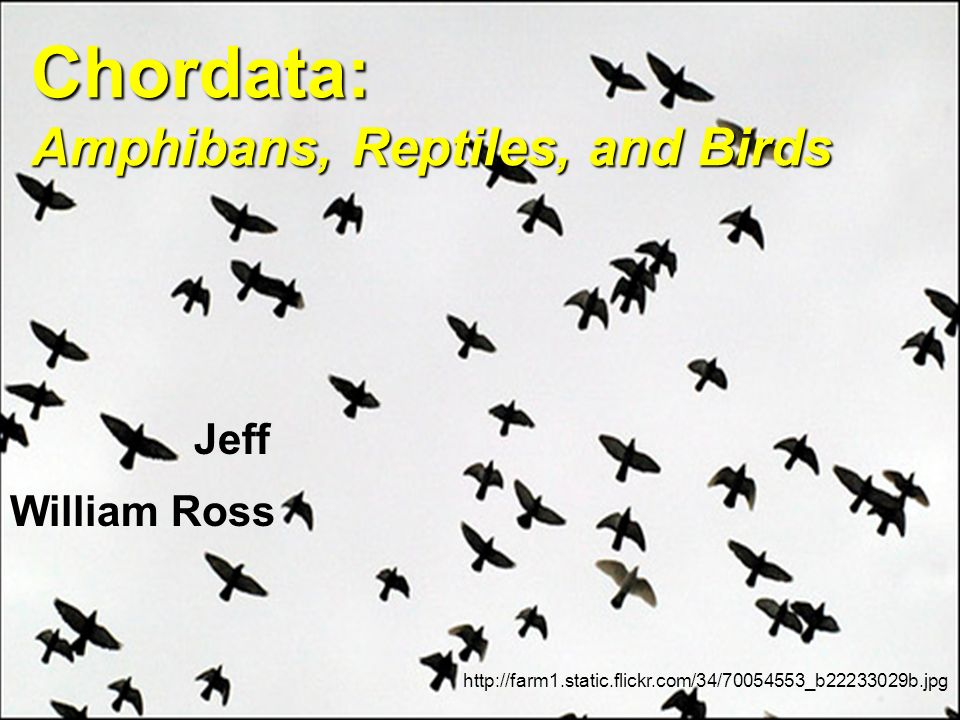 Chordata: Amphibans, Reptiles, and Birds http://farm1.static.flickr.com/34/70054553_b22233029b.jpg William Ross Jeff