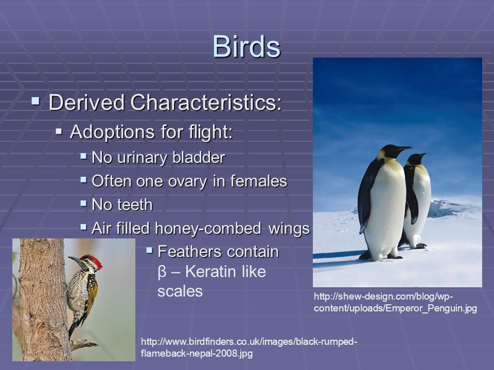 Birds Derived Characteristics: Derived Characteristics: Adoptions for flight: Adoptions for flight: No urinary bladder No urinary bladder Often one ovary in females Often one ovary in females No teeth No teeth Air filled honey-combed wings Air filled honey-combed wings http://shew-design.com/blog/wp- content/uploads/Emperor_Penguin.jpg http://www.birdfinders.co.uk/images/black-rumped- flameback-nepal-2008.jpg Feathers contain Feathers contain β – Keratin like scales
