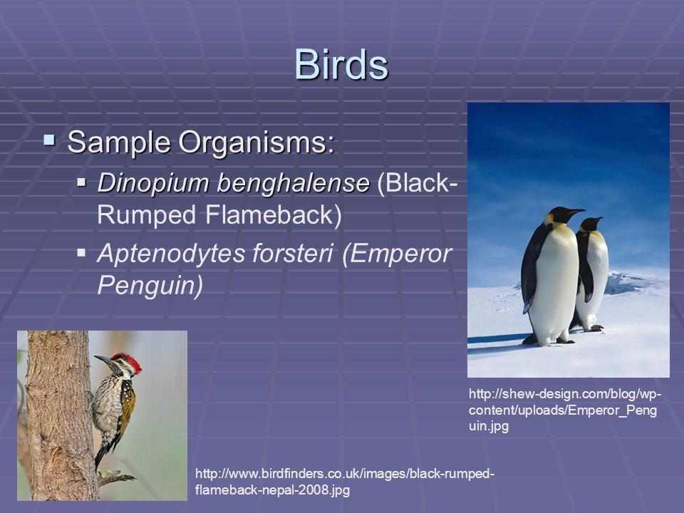 Birds Sample Organisms: Sample Organisms: Dinopium benghalense Dinopium benghalense (Black- Rumped Flameback) Aptenodytes forsteri (Emperor Penguin) h