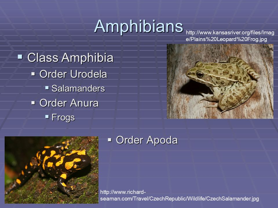 Amphibians Class Amphibia Class Amphibia Order Urodela Order Urodela Salamanders Salamanders Order Anura Order Anura Frogs Frogs http://www.richard- s