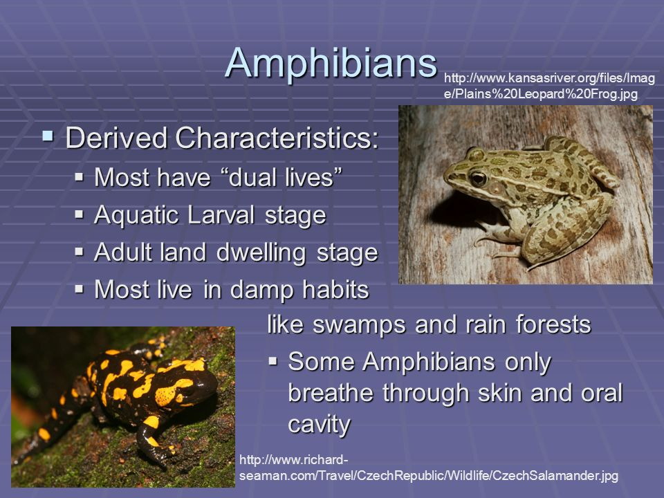 Amphibians Derived Characteristics: Derived Characteristics: Most have dual lives Most have dual lives Aquatic Larval stage Aquatic Larval stage Adult land dwelling stage Adult land dwelling stage Most live in damp habits Most live in damp habits http://www.kansasriver.org/files/Imag e/Plains%20Leopard%20Frog.jpg http://www.richard- seaman.com/Travel/CzechRepublic/Wildlife/CzechSalamander.jpg like swamps and rain forests Some Amphibians only breathe through skin and oral cavity Some Amphibians only breathe through skin and oral cavity