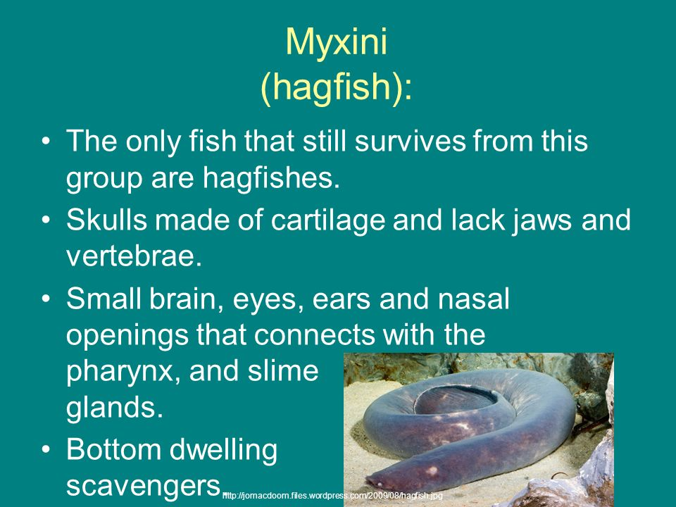 Myxini (hagfish): The only fish that still survives from this group are hagfishes. Skulls made of cartilage and lack jaws and vertebrae. Small brain,