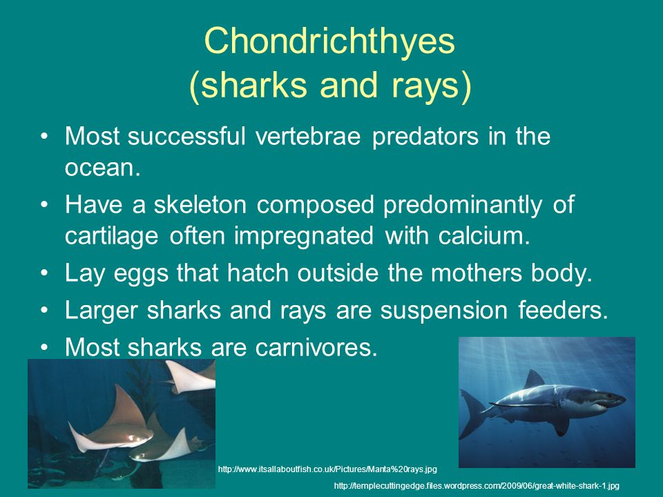 Chondrichthyes (sharks and rays) Most successful vertebrae predators in the ocean. Have a skeleton composed predominantly of cartilage often impregnat
