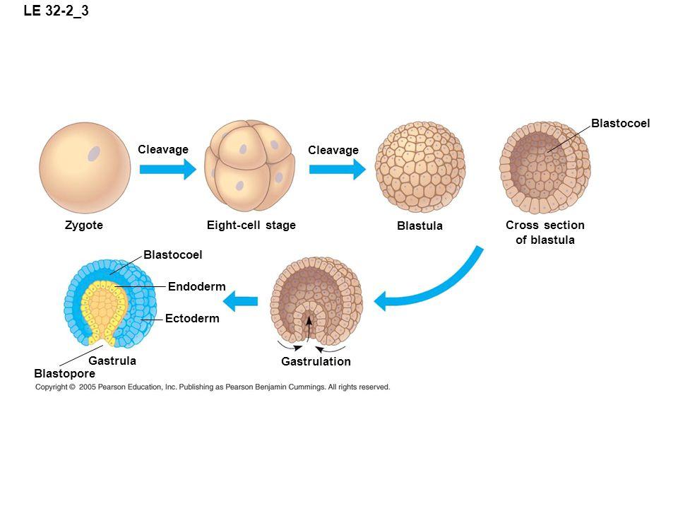 LE 32-2_3 Zygote Eight-cell stage Cleavage Blastula Cross section of blastula Cleavage Blastocoel Endoderm Ectoderm Gastrula Blastopore Gastrulation