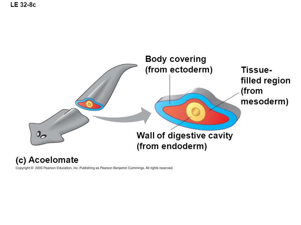 LE 32-8c Body covering (from ectoderm) Wall of digestive cavity (from endoderm) Acoelomate Tissue- filled region (from mesoderm)