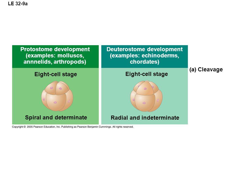 LE 32-9a Protostome development (examples: molluscs, annnelids, arthropods) Deuterostome development (examples: echinoderms, chordates) Eight-cell sta