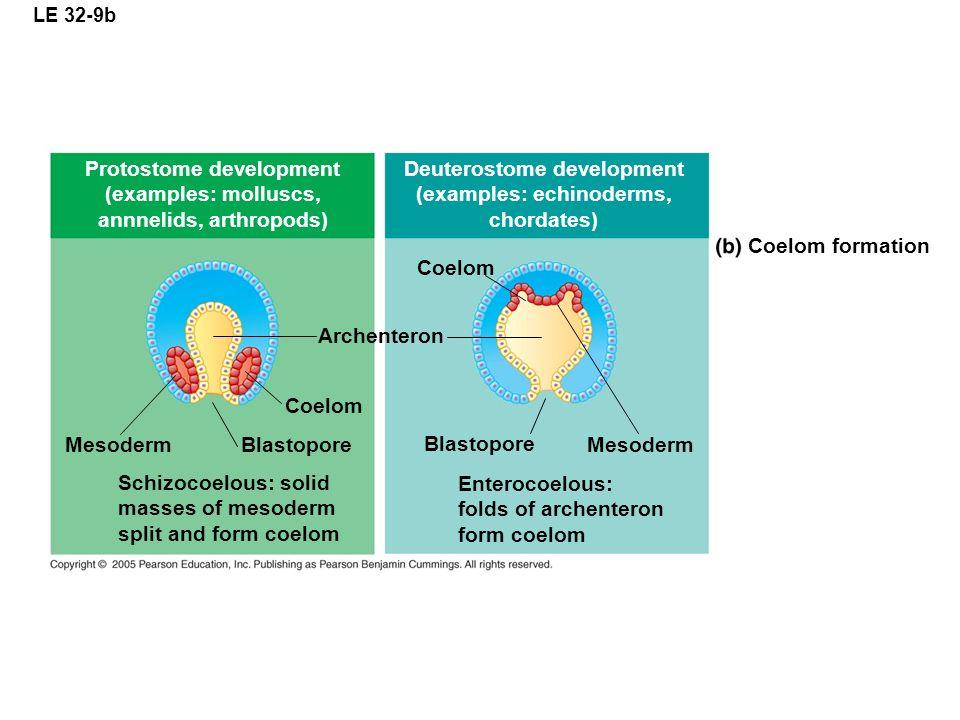 LE 32-9b Protostome development (examples: molluscs, annnelids, arthropods) Deuterostome development (examples: echinoderms, chordates) Coelom formati