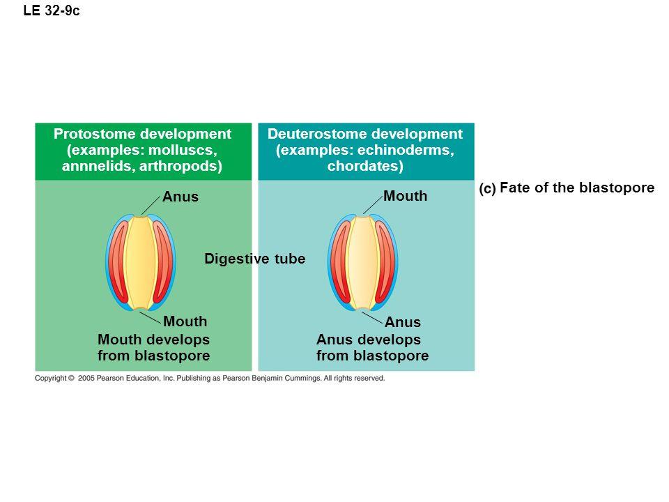 LE 32-9c Protostome development (examples: molluscs, annnelids, arthropods) Deuterostome development (examples: echinoderms, chordates) Fate of the bl