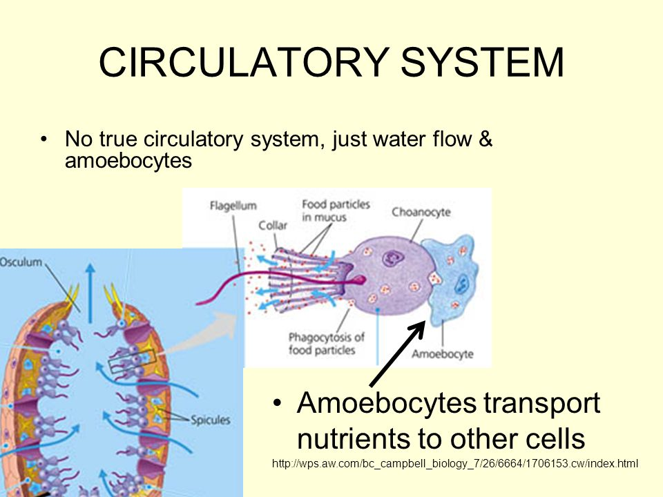 CIRCULATORY SYSTEM No true circulatory system, just water flow & amoebocytes Amoebocytes transport nutrients to other cells http://wps.aw.com/bc_campb