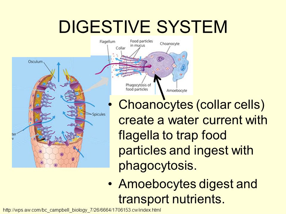 DIGESTIVE SYSTEM Choanocytes (collar cells) create a water current with flagella to trap food particles and ingest with phagocytosis. Amoebocytes dige