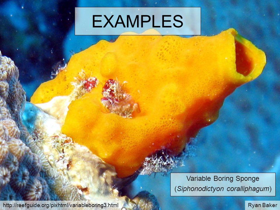 EXAMPLES Variable Boring Sponge (Siphonodictyon coralliphagum) http://reefguide.org/pixhtml/variableboring3.htmlRyan Baker