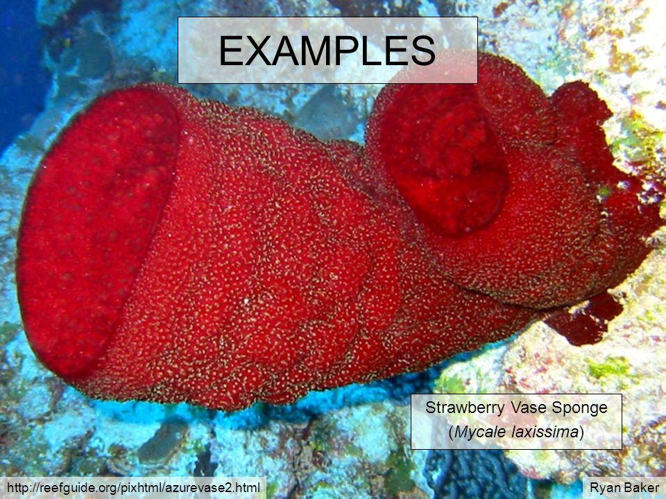 EXAMPLES Strawberry Vase Sponge (Mycale laxissima) http://reefguide.org/pixhtml/azurevase2.htmlRyan Baker