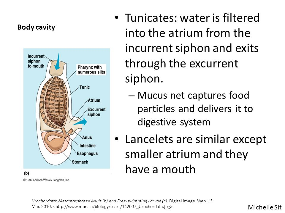 Body cavity Tunicates: water is filtered into the atrium from the incurrent siphon and exits through the excurrent siphon. – Mucus net captures food p