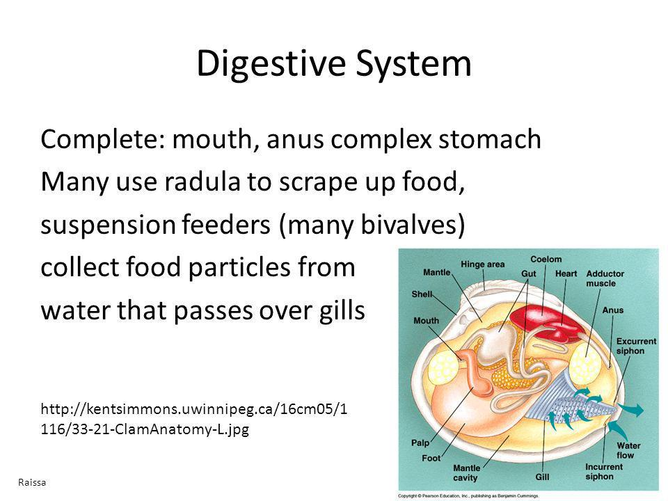 Digestive System Complete: mouth, anus complex stomach Many use radula to scrape up food, suspension feeders (many bivalves) collect food particles fr