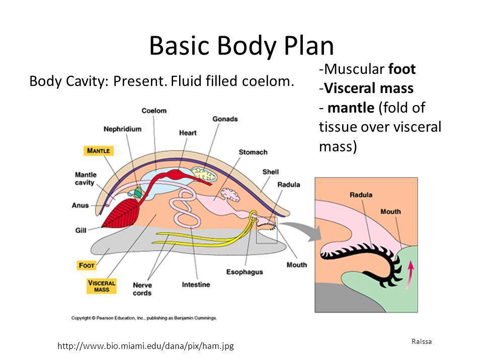 Basic Body Plan Body Cavity: Present. Fluid filled coelom. http://www.bio.miami.edu/dana/pix/ham.jpg -Muscular foot -Visceral mass - mantle (fold of t