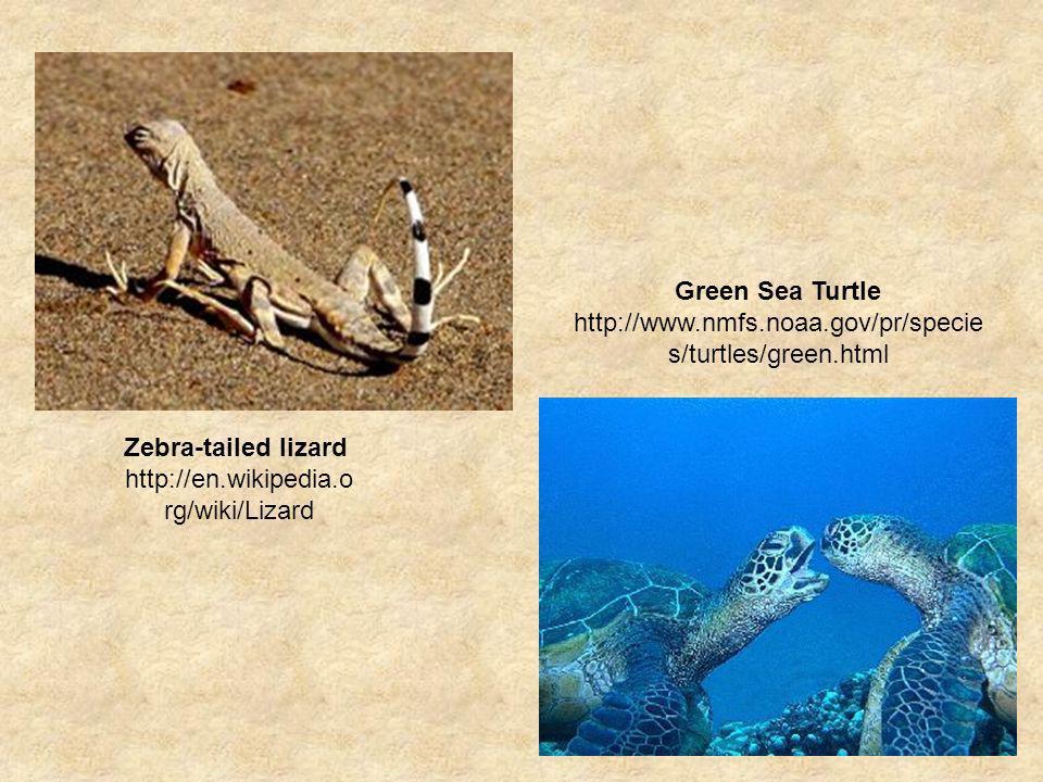 Zebra-tailed lizard http://en.wikipedia.o rg/wiki/Lizard Green Sea Turtle http://www.nmfs.noaa.gov/pr/specie s/turtles/green.html