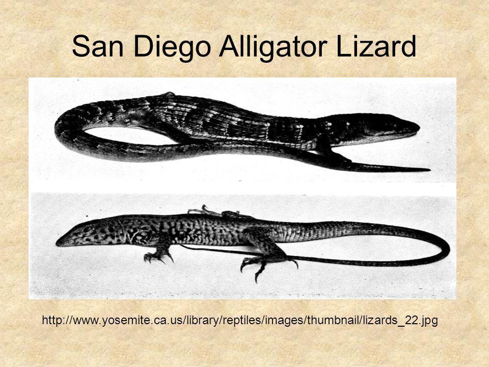 San Diego Alligator Lizard http://www.yosemite.ca.us/library/reptiles/images/thumbnail/lizards_22.jpg