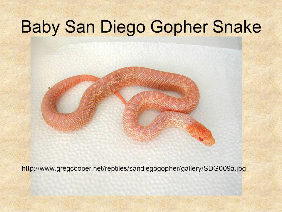 Baby San Diego Gopher Snake http://www.gregcooper.net/reptiles/sandiegogopher/gallery/SDG009a.jpg