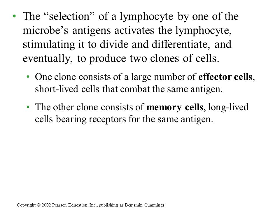 The selection of a lymphocyte by one of the microbes antigens activates the lymphocyte, stimulating it to divide and differentiate, and eventually, to