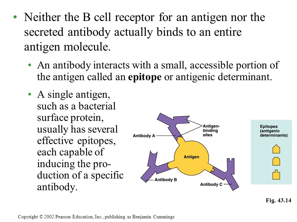 Neither the B cell receptor for an antigen nor the secreted antibody actually binds to an entire antigen molecule. An antibody interacts with a small,