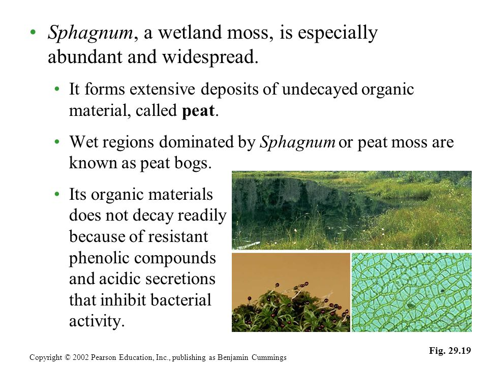 Sphagnum, a wetland moss, is especially abundant and widespread. It forms extensive deposits of undecayed organic material, called peat. Wet regions d