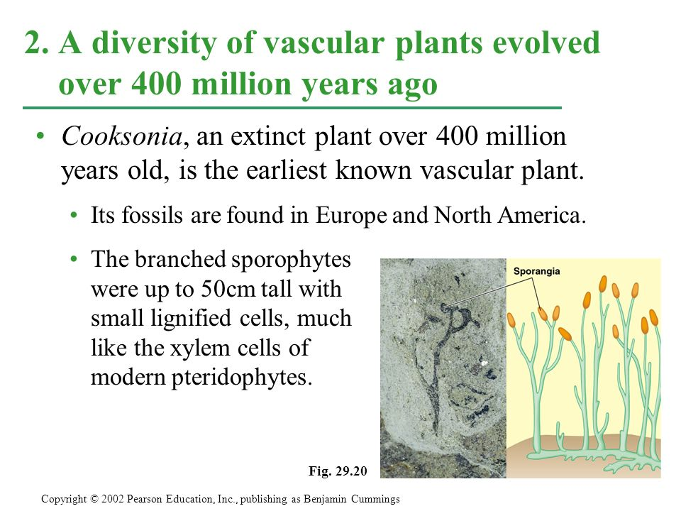 Cooksonia, an extinct plant over 400 million years old, is the earliest known vascular plant. Its fossils are found in Europe and North America. The b