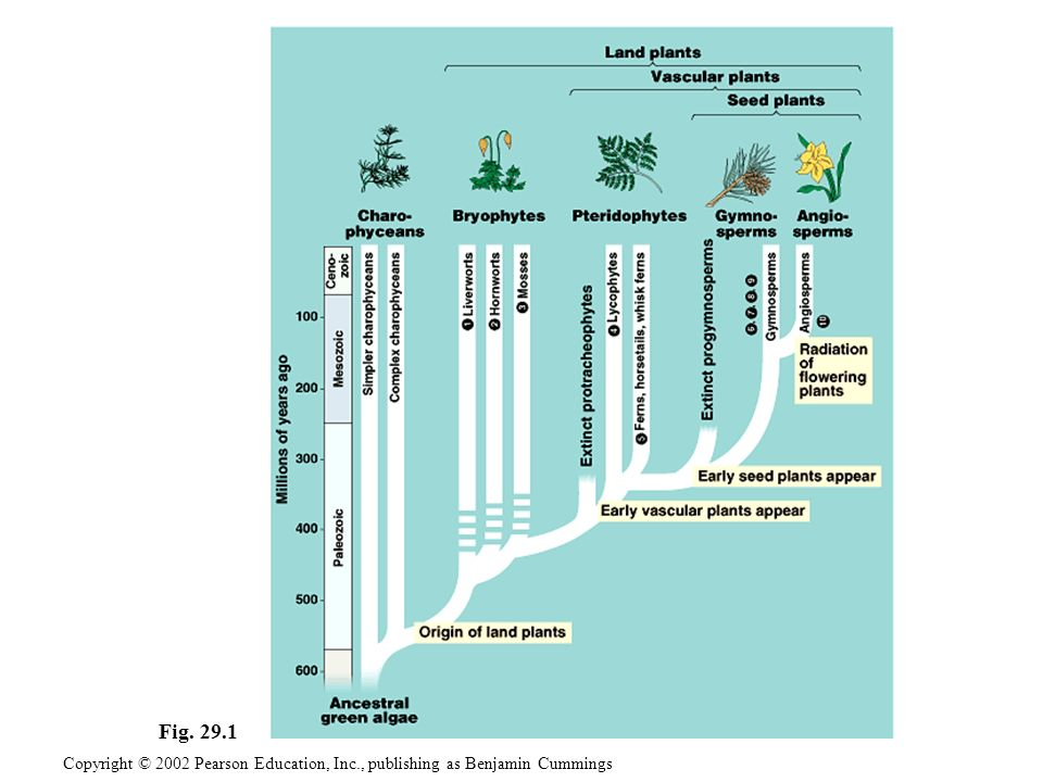 CHAPTER 29 PLANT DIVERSITY I: HOW PLANTS COLONIZED LAND Copyright © 2002 Pearson Education, Inc., publishing as Benjamin Cummings Section C1: Bryophytes 1.The three phyla of bryophytes are mosses, liverworts, and hornworts 2.The gametophyte is the dominant generation in the life cycles of bryophytes