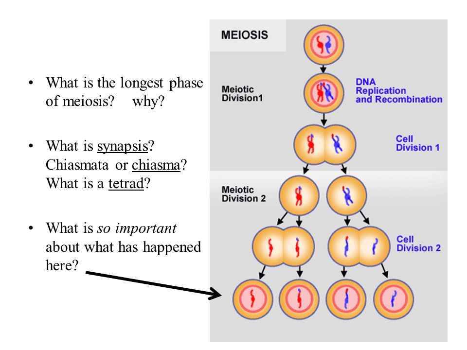 ap biology cell division essay Year 8 cell division homework name: _____ mitosis worksheet the diagram below shows six cells in various phases of the cell cycle note the cells are not arranged in the order in which mitosis occurs and one of the phases of mitosis occurs twice.